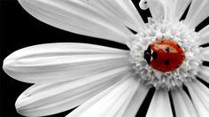 25 Fondos de pantalla con imágenes de adorables y tiernas mariquitas | TodoGraphicDesign