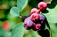 Saskatoon Berry Extract W.