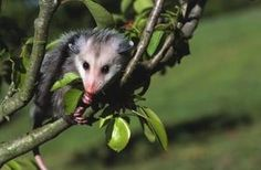 Despite their reputation as being pests, possums (or opossums) are in fact useful little animals in your garden. They eat real pests such as slugs and small rodents and rarely cause problems themselves. Possums are also entertaining to watch because of their agility and intelligence. As with other wildlife, much of the natural habitat of possums has been lost to development and agriculture. This means you can encourage them to visit your yard by providing food and places to nest.