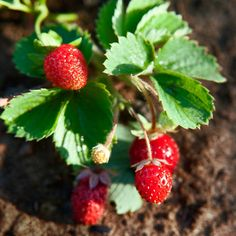 How to Grow Your Own Strawberries | Happiness is a strawberry patch! Get our no-fail guide on growing your own, plus the best varieties for your location