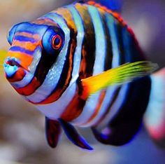 Saltwater Aquarium - Find incredible deals on Saltwater Aquarium and Saltwater Aquarium accessories. Let us show you how to save money on Saltwater Aquarium NOW! Saltwater Aquarium Fish, Saltwater Tank, Ocean Aquarium, Freshwater Aquarium, Marine Aquarium, Marine Fish, Underwater Creatures, Ocean Creatures, Colorful Fish