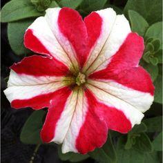 Deze petunia is trouwens ook erg mooi #zomerbloeier