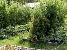 Tomatoes and cattle panels Growing Tomatoes Forum GardenWeb Tomaten und Rinder Panels Wachsende Toma Tomato Trellis, Tomato Cages, Garden Trellis, Home Vegetable Garden, Home And Garden, Tomato Support, Cattle Panels, Porch Garden, Tomato Plants