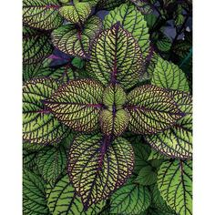 PROVEN WINNERS 4-Pack, 4.25 in. Grande Fishnet Stockings Coleus (Solenostemon) Live Plant,Green and Burgundy VariegatedFoliage-COLPRS1277524 - The Home Depot Begonia, Coleus Care, Trees To Plant, Plant Leaves, Proven Winners, How To Attract Hummingbirds, Fishnet Stockings, Foliage Plants, Annual Plants