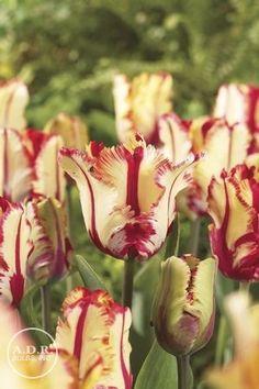 Tulipa parrot 'Flaming Parrot' Tulip
