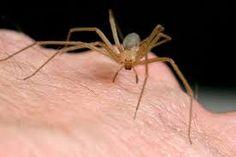 La araña violinista - Los efectos de su picadura