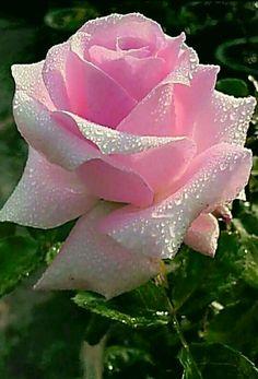 — Так в чем счастье?— Счастье? Beautiful Flowers Pictures, Beautiful Flowers Wallpapers, Beautiful Rose Flowers, Exotic Flowers, Amazing Flowers, Pretty Flowers, Pink Flowers, Flower Pictures Roses, Photos Of Flowers