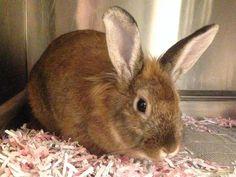 Wendy- Wendy,  Rabbit • Lionhead • Adult • Female • Medium Humane Society of Harrisburg Area Harrisburg, PA