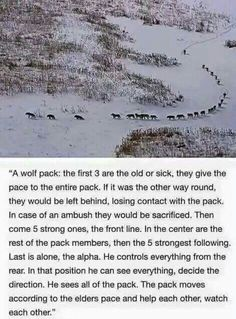 I find this so beautiful. Us humans could learn a thing or two about teamwork from wolves