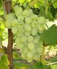 The largest white grape. This relatively new variety produces big, juicy, highly flavorful grapes that resist cracking, even in adverse conditions. $11.99