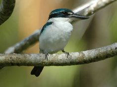 Pacific Kingfisher (Todiramphus sacer ) by Tom_Tarrant.
