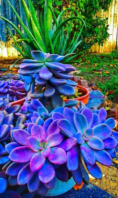 """shelovesplants: """"Fall sun setting 2016 🍁⛅️🌵 """" I doubt this one is actually real, but the colors are so dang pretty! Succulents Tumblr, Cacti And Succulents, Planting Succulents, Planting Flowers, Unusual Plants, Cool Plants, Succulent Gardening, Garden Plants, Exotic Flowers"""