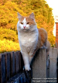 * * THE 'ROG' THINKS HE'S GOD'S GIFT TO CAT LOVERS.  AT TIMES HE WEARS A RAINBOW FLAG ON HIS TAIL.