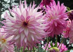 Beautiful Dahlia flowers make wonderful displays both in the garden and as cut flowers in the home Sun Garden, Dream Garden, Lawn And Garden, Garden Bed, Flowers Perennials, Planting Flowers, Partial Sun Perennials, Outdoor Plants, Outdoor Gardens