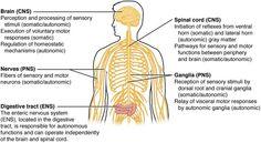 Central nervous system Facts for Kids Nervous System Facts, Nervous System Anatomy, Nervous System Function, Structure And Function, Central Nervous System, Nervous System Structure, Enteric Nervous System, Peripheral Nervous System, Brain Connections