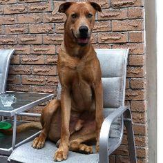 The real life scooby doo real life scooby doo dog african mastiff