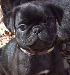 I'm adding this cute black pug puppy to my wish list even though I know I won't get it. But I want it. I want it. I want it. I want it.