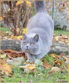 Photo chat de race British shorthair, Orion - Eleveurs-Online.com