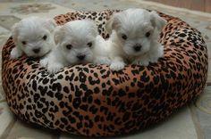Maltese puppies.