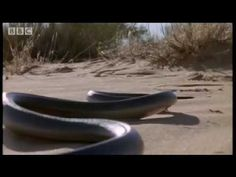 How snakes move & 'run' - Serpent - BBC Animals chapter 10