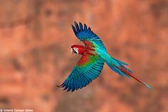 arara vermelha voando - Pesquisa Google
