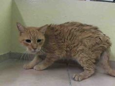 SENIOR ALERT: #A1012233 - LAUREL  NEUTERED MALE, ORG TABBY, 14 yrs. Surrendered w/4 other seniors because their owner got sick. The other 4 found homes, and now he is all alone in the shelter! This old boy is missing all his teeth, and now he is missing his 4 companions and his owner, too!  Please help him: adopt/foster. PULLED by Anjellicle Cat Rescue!  https://www.facebook.com/pages/Anjellicle-Cats-Rescue-Fan-Page/200369229987929