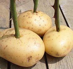 Summer Garden, Caramel Apples, Garden Landscaping, Pear, Fruit, Ethnic Recipes, Plants, Lawn And Garden, Ideas