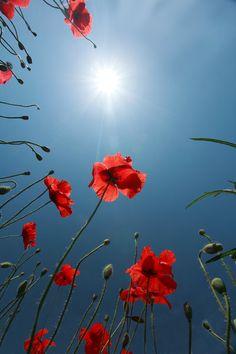 sun, blue sky, red poppies by Floriandra.deviantart.com on @deviantART