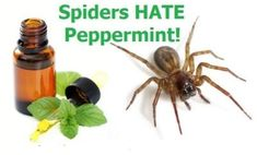 How To Keep Spiders Out Of Your Home With Peppermint Oil