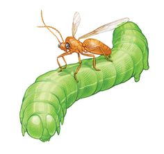Enlist Beneficial Insects for Natural Pest Control - Organic Gardening - BEST REFERENCE I HAVE SEEN SO FAR!