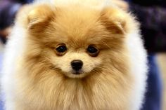 Pom Pom Awww this looks just like tyson. Well this dog looks more fluffy then tyson. but still cute. :)