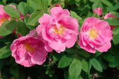 """William Grant - """"found"""" Gallica hybrid of uncertain origins. VIGOROUS, SEMI-CLIMBING ROSE. tall grower, to at least 8 feet is supported.  once-blooming in early summer, blooms about 3 inches across, nicely scented"""
