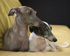 italian greyhound | Italian Greyhound - Dogs Wallpaper (13073855) - Fanpop fanclubs