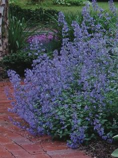 """Nepeta racemosa (Catmint) - Blue Wonder also 'JOanna Reed"""" 24"""" H x 48"""" W, mostly sunny, deer resistant"""