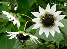 """Rojasianthe superba, """"Giant White Sunflower Tree."""" Absolutely astonishing in bloom! From the highlands of GUATEMALA and South MEXICO comes this extremely rare evergreen Sunflower tree. wish lived in a place where I could grow this beautiful plant."""