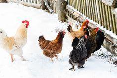 49 Best Chickens images in 2019 | Backyard chickens, Chicken