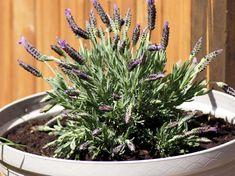 Mücken fernhalten und Mückenstiche vermeiden - das klappt mit diesen acht Pflanzen, die du einfach nur auf Fenster und Balkon stellen musst! Vegetable Garden, Garden Plants, Container Gardening, Gardening Tips, Canning, Flowers, Tricks, Joy, Patio