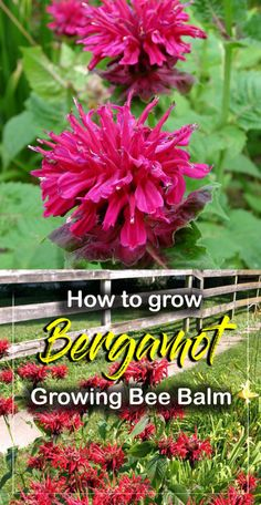 How to grow Bergamot | Growing Bee Balm | Monarda