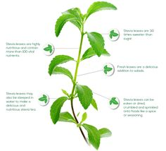 Stevia Plant Facts | SweetLeaf®