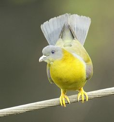 Yellow Footed Green Pigeon - (Treron phoenicoptera) Also known as the Yellow-legged Green Pigeon. This is a common species of green pigeon found in the Indian Subcontinent. It is the state bird of Maharashtra. Pretty Birds, Beautiful Birds, Animals Beautiful, Cute Animals, Kinds Of Birds, All Birds, Love Birds, Exotic Birds, Colorful Birds