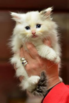 Beautiful white kitten with gorgeous blue eyes