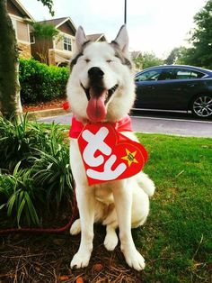My dog kodathesamoyed in his beanie baby costume for halloween 17 hilarious pet costume ideas for a silly halloween solutioingenieria Images