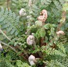 Polystichum setiferum 'Herrenhausen': Native evergreen fern, ideal at the front of a shady border.