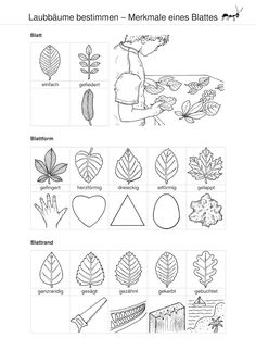 Laubbäume bestimmen – Merkmale eines Blattes: Verlage der Westermann Gruppe Defining deciduous trees – characteristics of a leaf: publishers of the Westermann Group Electricity Experiments, Montessori Science, Teaching Biology, Deciduous Trees, Early Education, Science And Nature, Primary School, Kids Learning, Techno