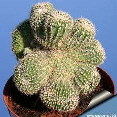 Gymnocalicium bruchii var. niveum forma cristata http://www.cactus-art.biz/schede/GYMNOCALYCIUM/Gymnocalycium_bruchii/Gymnocalycium_bruchii_niveum_cristata/Gymnocalycium_bruchii_niveum_cristata.htm