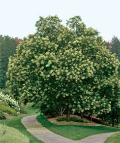 Fast-growing trees for impatient gardeners