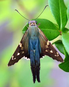 Long-Tailed Skipper (Urbanus proteus). This diminutive butterfly is only a couple of inches in size, and seen in flight might appear to be a drab brown.