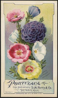 Portulaca, from seeds put up by D. M. Ferry & Co., Detroit, Mich. (front) ~ Vintage Catalog