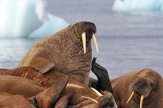 Walrus haulout, Svalbard