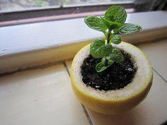 DIYと言っていいのでしょうか?食べ終わったフルーツの穴に「えいっ」とばかりに植えこみます。皮が傷んできたら、そのまま土に地植えしちゃいましょう。やがて肥料となってくれます。